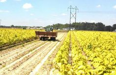 Tractor & dump buggy, it transports tobacco from a harvester to a truck or trailer