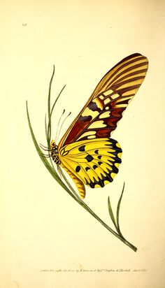 butterfly - The Naturalist's repository, or, Monthly miscellany of exotic natural history / - Biodiversity Heritage Library Butterfly Illustration, Nature Illustration, Botanical Illustration, Butterfly Painting, Butterfly Art, Botanical Drawings, Botanical Prints, Insect Art, Vintage Butterfly