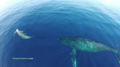 Grabando con un dron en alta mar, estampida de delfines y ballenas, una ...