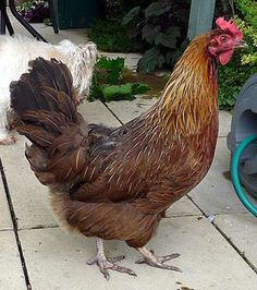 Welsummer Chickens - I have a couple of these too! So pretty!