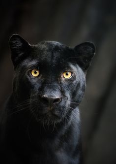 "animalsarehype: "" Black Beauty - Panther Portrait by ~Manu34 """