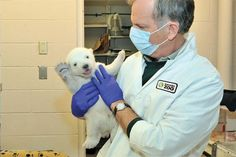 After a precarious start to life, a now 3 ½ month old male Polar Bear cub was introduced today at Toronto Zoo. This energetic young cub represents a heartwarming journey of survival, one where expert Toronto Zoo Wildlife Health staff worked around the clock to save a vulnerable species. The cub has successfully reached many milestones in his young life and is a great ambassador for a species in need of public education and support.
