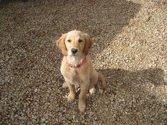 #GoldenRetriever #puppy