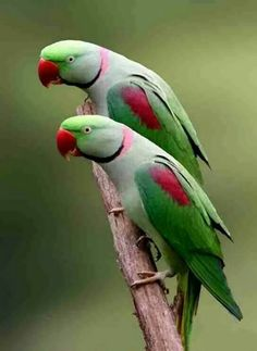 Matching pair of parrots