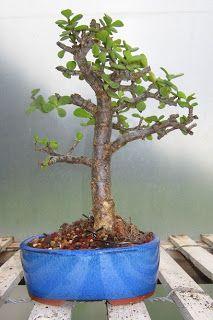 Bonsai Beginnings: Portulacaria afra- re-pot