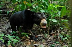 Adorable Rescued Sun Bear Takes His First Steps in the Forest (PHOTOS)