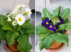 A Primrose Primer: Caring for a Collection of Early Bloomers Garden Art, Garden Plants, Indoor Plants, Garden Ideas, Primrose Plant, Beautiful Home Gardens, Chlorophytum, Primroses, Bedroom Plants