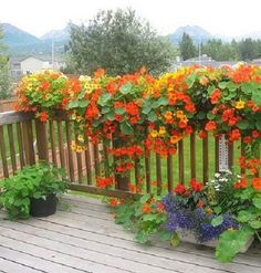Hanging Nasturtiums in box planters for the deck or balcony.. colorful, beautiful.