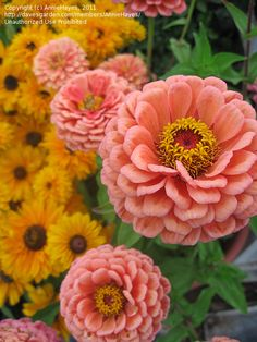 Zinnia elegans 'Benary's Giant Salmon Rose'; Zinnia elegans (common zinnia, youth-and-old-age), an annual flowering plant of the genus Zinnia, is one of the best known zinnias.