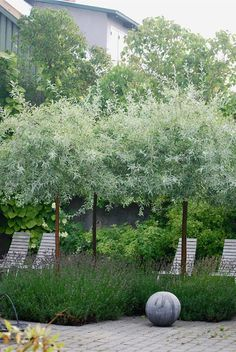 silver pear trees underplanted with lavender, these trees add an element of texture & colour that is different from most