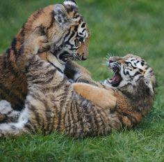 Hand reared Siberian (Amur) Tiger cubs, Howletts, Kent England