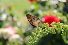 Butterfly Visit. IT, Tuscany.