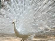 Uncle RJ raises these...I think I might want one!  What could be more beautiful in my yard than a white peacock?
