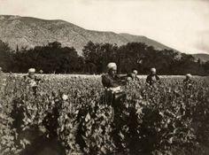 Afyon tarlasında çalışan köylüler.