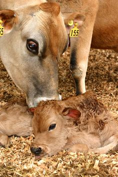 she is number 155 - her baby will be taken and slaughtered, the mother will be impregnated, and the process will be repeated until she can no longer give birth to stolen babies - then she will be Hamburger - please go vegan