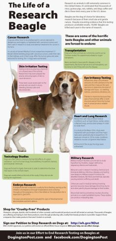 The Life of a Research Beagle   ~  hearbreaking  (Vegan Richa)