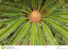 Canary Date Palm Close Up Stock Images - Image: 31036694