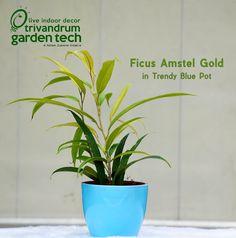 Trivandrum Garden Tech: Ficus Amstel Gold In Trendy Blue Pot