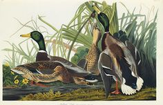 The mallard duck. Nearly 10m of these birds live in North America, and millions more are found in Eurasia
