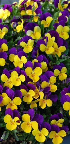 Viola cornuta - vibrant blooms are deep purple and yellow