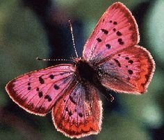 """Butterflies and moths make up the Lepidoptera. The name means """"scale wing,"""" and lepidopteran wings are covered with microscopic scales, which are iridescent and brightly colored in the case of this California butterfly, Lycaena helloides. The scales are visible as the """"fuzz"""" along the edges of the wing. Primitive lepidopterans retain functional chewing mouthparts as adults, but more derived ones have partially or completely lost the mandibles and developed a long proboscis for drinking…"""