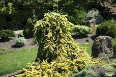 Picea abies 'Gold Drift' :: Квітковий сад Ірини Ковальчук