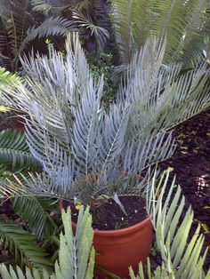 E .dolomiticus beautiful blue form. Planting Seeds, Planting Succulents, Planting Flowers, Tropical Gardens, Tropical Plants, Hardy Plants, Courtyards, Porches, Evergreen