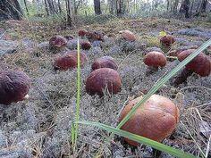grzyby olbrzymy - Szukaj w Google