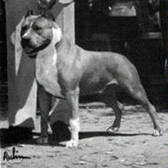 Staffordshire Terrier Club of America National Specialty Winner - CH Herring's Beau Jangles - also won the APBT national in 1983