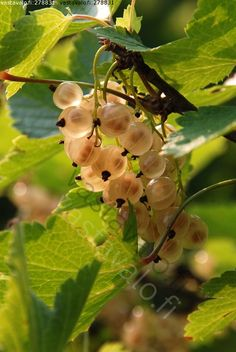 Valkoherukka -  Ribes rubrum / Vastavalo.fi