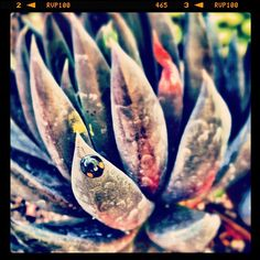 """rodinphotography: """"#ladybug #succulent #spring #garden #getty #thegetty #colorful #macro #closeup"""" (Taken with Instagram)"""
