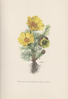 1954 Pheasant's Eye, Vintage Botanical Print Adonis vernalis Adonisröschen False Hellebore Flower Botany Flora Illustration Ranunculaceae