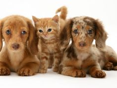 Miniature Long-Haired Dachshund Puppies with British Shorthair Red Tabby Kitten