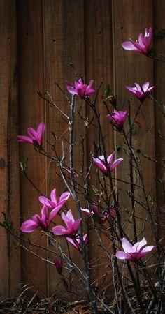 die besten 25 japanische magnolie ideen auf pinterest magnolie magnolien und magnolienbl te. Black Bedroom Furniture Sets. Home Design Ideas