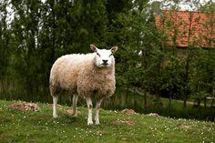 Baal wol poseert. #willemlaros.nl #flickr #photography #travelphotography #traveller #canon #snpnatuurreizen #canon_photos #fotoreis #travelblog #reizen #reisjournalist #travelwriter#fotoworkshop #reisfotografie #landschapsfotografie #tiengemeten #natuurmonumenten #cameranu #fb