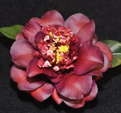 Camellia Japonica 'Cherries Jubilee'   2010 Camellia Show