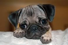 Pug puppies are so cute