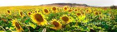 Sunflower field - Weston Westmoreland