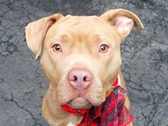 SAFE 01/23/15 --- Manhattan Center   TAYLOR - A1025814  FEMALE, TAN / WHITE, PIT BULL MIX, 3 yrs STRAY - STRAY WAIT, NO HOLD Reason STRAY  Intake condition EXAM REQ Intake Date 01/19/2015 https://www.facebook.com/photo.php?fbid=948295935183286