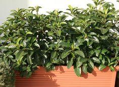 Viburnum licidum