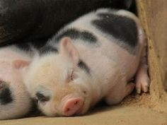 Discovered by Alyson Townsend. Find images and videos about cute animals, baby animals and piglet on We Heart It - the app to get lost in what you love. Cute Baby Pigs, Cute Piglets, Cute Baby Animals, Animals And Pets, Funny Animals, Cute Babies, Farm Animals, Sleepy Animals, Mini Piglets