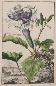 "Datura Aegyptia (flore triplici feu pleno) from Johann Christoph Volckamer, ""Nurnbergische Hesperides,"" Nuremberg (1708). Hand-coloured etching P. Decker (1685–1742). Museum of Fine Arts, Boston."