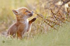 Red Fox Cub by Roeselien Raimond Cute Baby Animals, Animals And Pets, Funny Animals, Beautiful Creatures, Animals Beautiful, Fuchs Baby, Fox Pups, Fantastic Fox, Fox Pictures