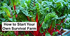 How To Grow Swiss Chard For Fast Leafy Green Vegetables Fall Vegetables, Organic Vegetables, Growing Vegetables, Growing Swiss Chard, Agriculture Raisonnée, Shade Tolerant Plants, Potager Garden, Greenhouse Gardening, Victory Garden