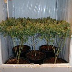 How To Prune Your Marijuana Plants To Grow Huge Buds