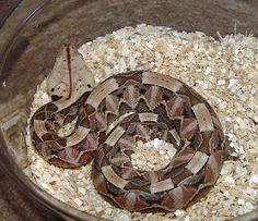 ow i want a west African gaboon viper such a great pattern