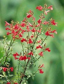 Plant World Nursery - Salvia 'Graham's Sage'