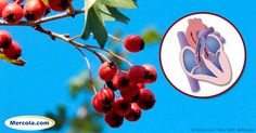 Modern research shows hawthorn berry significantly enhances circulation to the heart and brain and improves irregular heartbeat and cardiac arrhythmia. http://articles.mercola.com/sites/articles/archive/2016/10/24/hawthorn-berry-benefits.aspx