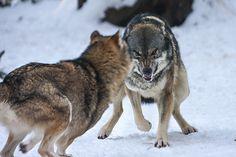 angry wolf by Tobi-G.deviantart.com on @DeviantArt