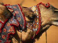 Camel at Pushkar Camel Fair, Pushkar, India Lámina fotográfica por Paul Beinssen en AllPosters.es